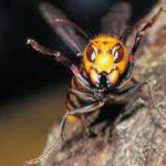 スズメバチの巣の作り方とは?遭遇した時の対処法は?なぜ黒いものに反応?