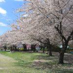 お花見とは?その起源・由来・歴史とは?なぜ桜なのか